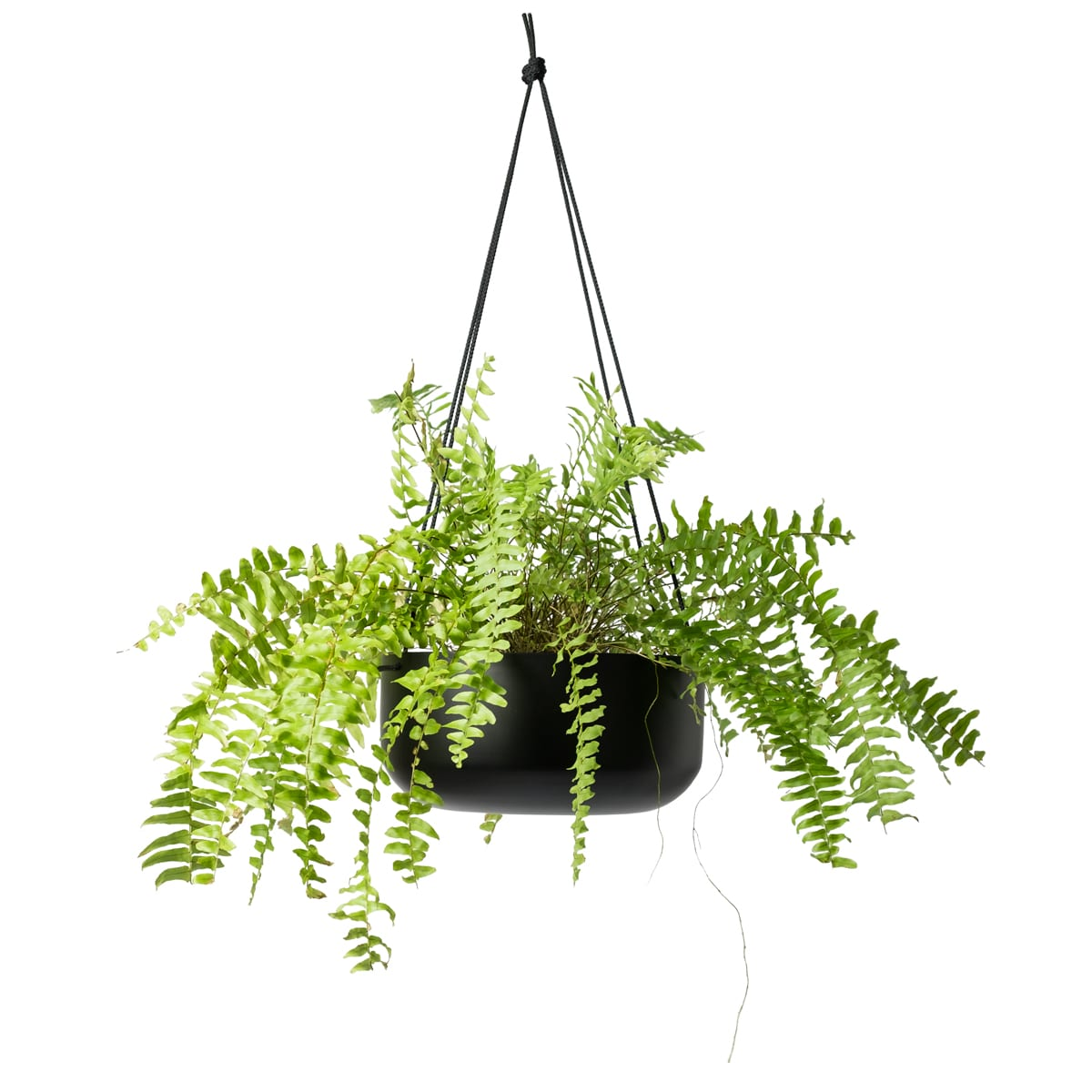 Hanging Planter Large In Black With Leather Straps By Designed By Lightly